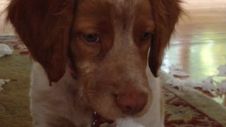 Puppy making a big mess gets caught red-handed