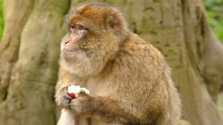 A monkey eating apple