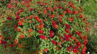 Butterflies Drinking Nectar from Lantana Flowers