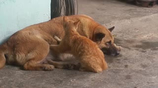 Cat Gives Relaxed Dog a Massage