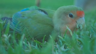 A small parrot eats grain, it's beautiful