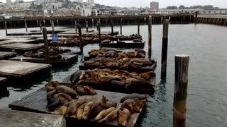 Seals in San Francisco Bay