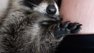 Raccoon Snuggling and Thumb Sucking