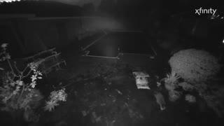 2 racoons around pool