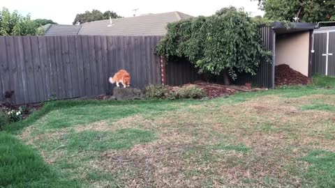 14kg Maine Coon Cat sprinting