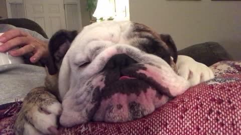 Handsome bulldog looks cute while dreaming