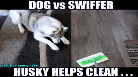 Husky hates when owner cleans home