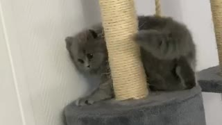 Kitten is trying to catch her tail