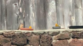 #Back Yard Birds Hawai'i Momma2 & Babies