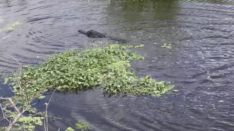 Alligator jump to catch a fish