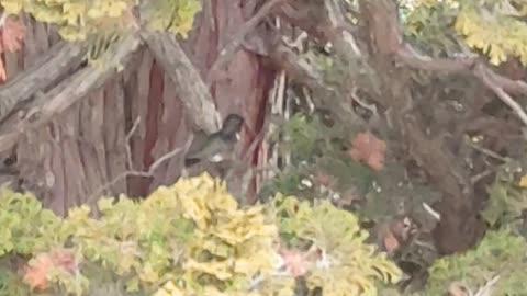 Hummingbird Cleaning Himself in Tree