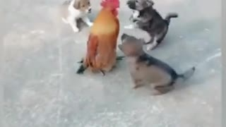 scary dog fighting with a chicken