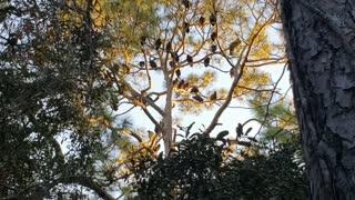 Amazing footage of turkey vultures!
