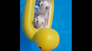 Puppies playing swimming pool