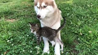 Abandoned kitten befriends gentle husky