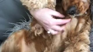 Cute doggy wags paws during belly scratch