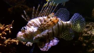 سمكة الاسد lion fish