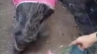 viral ... Pig wearing clothes
