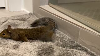 Pet squirrel adorable dries off after bath