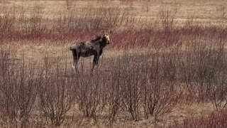 Moose on US1