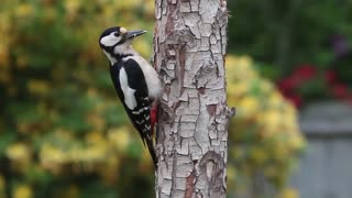 Watch a woodpecker in action