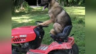 German Shepherd rides lawnmower