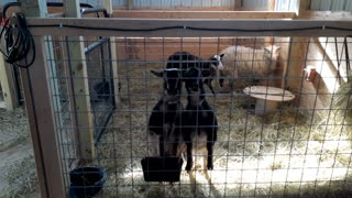 Goats love animal crackers!