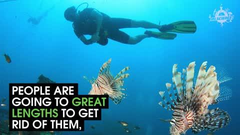 Lionfish are massive pests