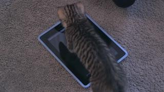 Cat Ipad or an IPhone
