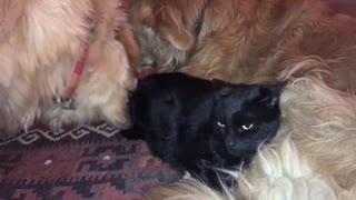 Super jealous dog demands cat's full attention