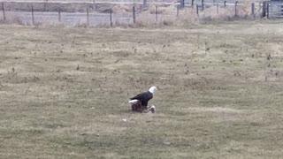 American Bald Eagle scavenger on deer kill in Iowa