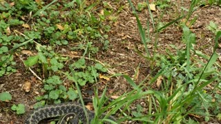 Big garter snake resting outside the door lunged at me while filming.