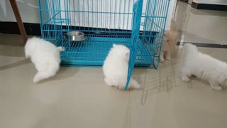 Adorable Persian Cats