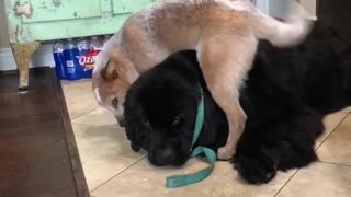 Newfoundland Patiently Babysits Extremely Energetic Puppy