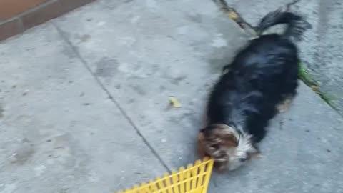 Yorkie Puppy Adorable Attacks a Rake
