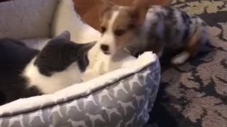 Puppy adorably tries to get kitty out of his bed