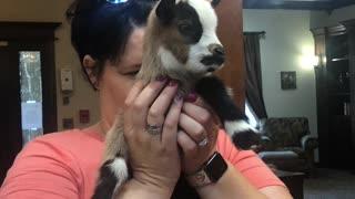 Mini Nigerian pigmy goats