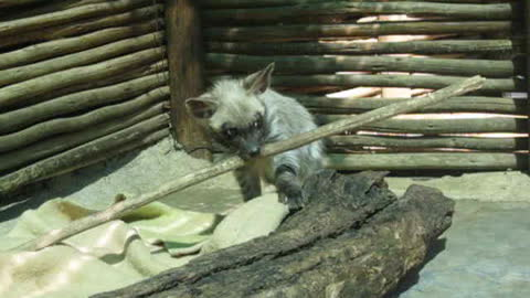 Hyena pup plays with stick twice her size