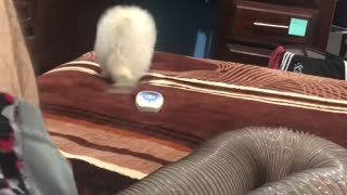 Ferret Falls From Bed