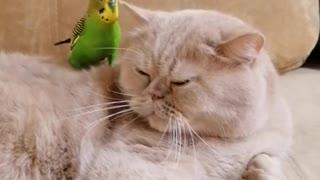 Parrot's best friend is a sweet cat