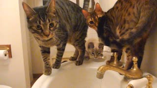 Cute cats water drink