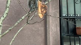 Squirrel Carries Around Huge Slice of Pizza
