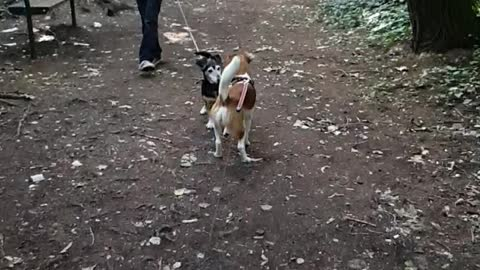 when a dog see his best friend after longtime lovely dogs you must see Jack Russel mix and Aramis