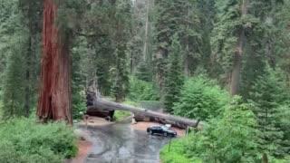 Driving through Sequoia