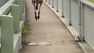 Huge Kangaroo Hops Past Pedestrians on Bridge