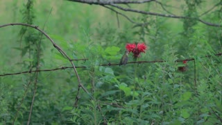 Great video of hummingbird sucking flower nectar closely