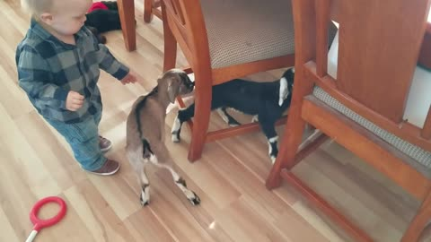 baby goats and baby