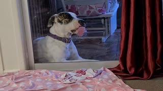 Derpy Dog Loves Licking Glass