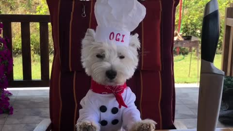 Westie in chef costume tries to become actor