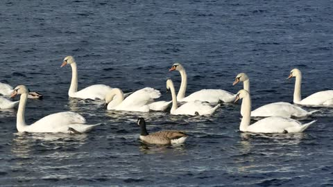 Watch these Swans being very beautiful !